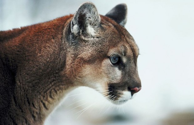 Three Headed To Trial In SD Mountain Lion Hunting Case