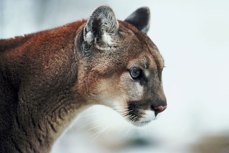 Mountain Lion Spotted In Sioux Falls
