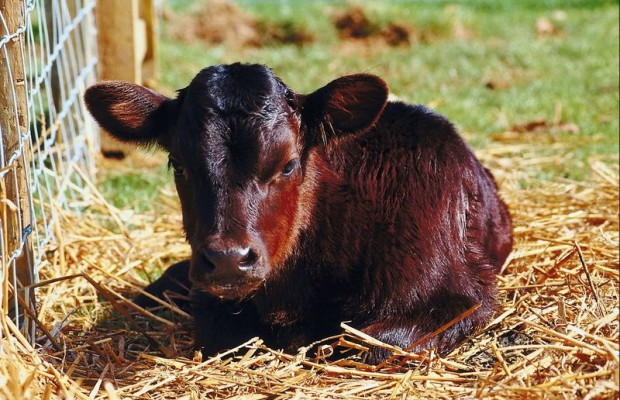 Double-bodied calf!