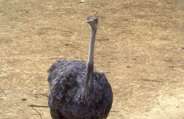 World's First Flying Ostrich!